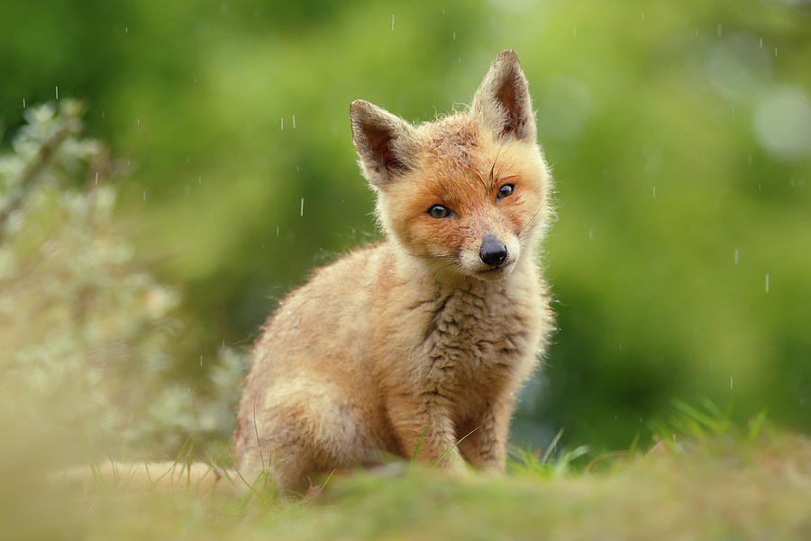 Fox Photograph - Cute Overload Series - Best Baby Fox Ever by Roeselien Raimond