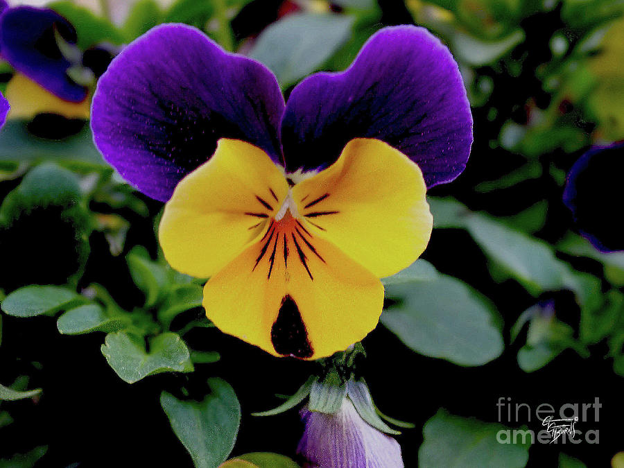 Cute Pansy Face by GG Burns