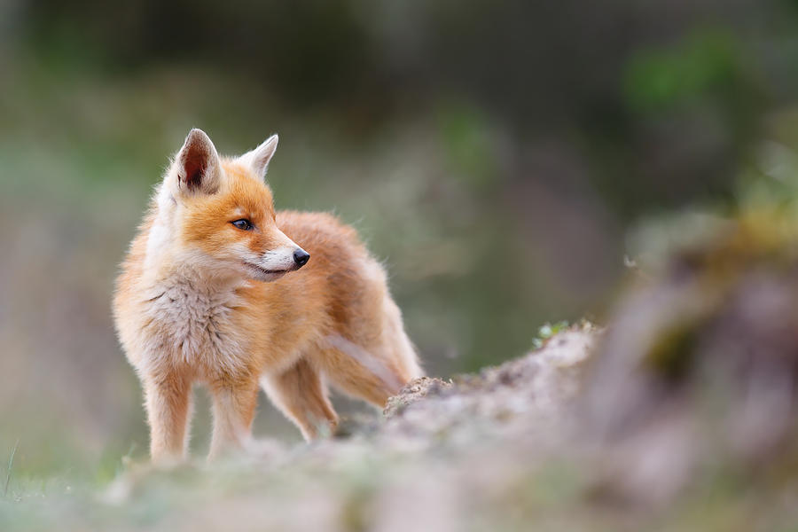 Cute Red Fox Photograph by Roeselien Raimond