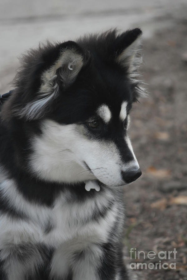 Cute Siberian Husky Dog With Black And White Fur Photograph By