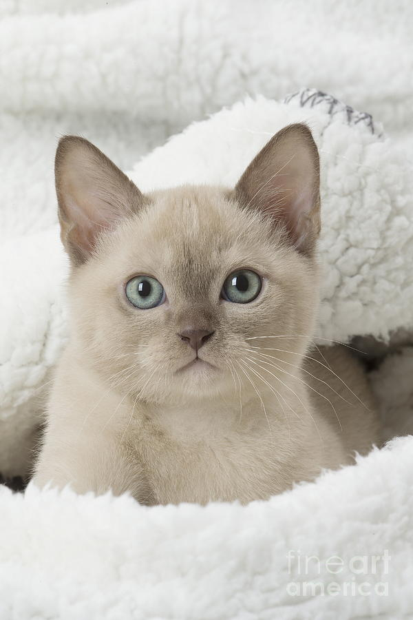 Cute Tonkinese Cat, Siamese And Burmese Cross, Kitten