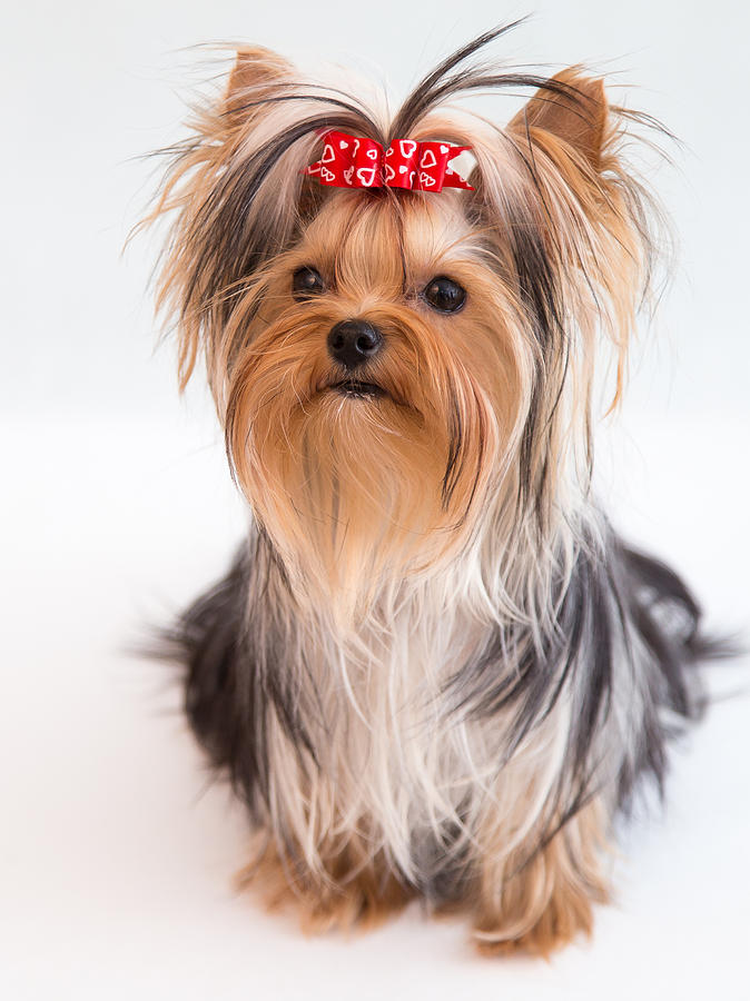 Cute Yorkie Puppy With Red Bow Photograph By Yana Reint