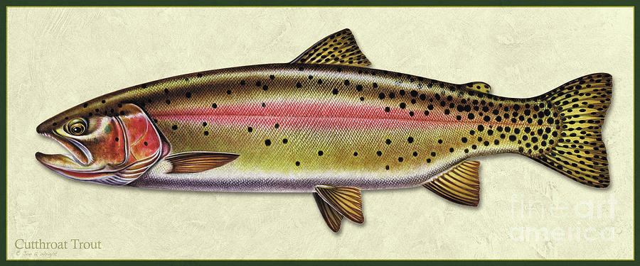 Cutthroat trout ID by Jon Q Wright