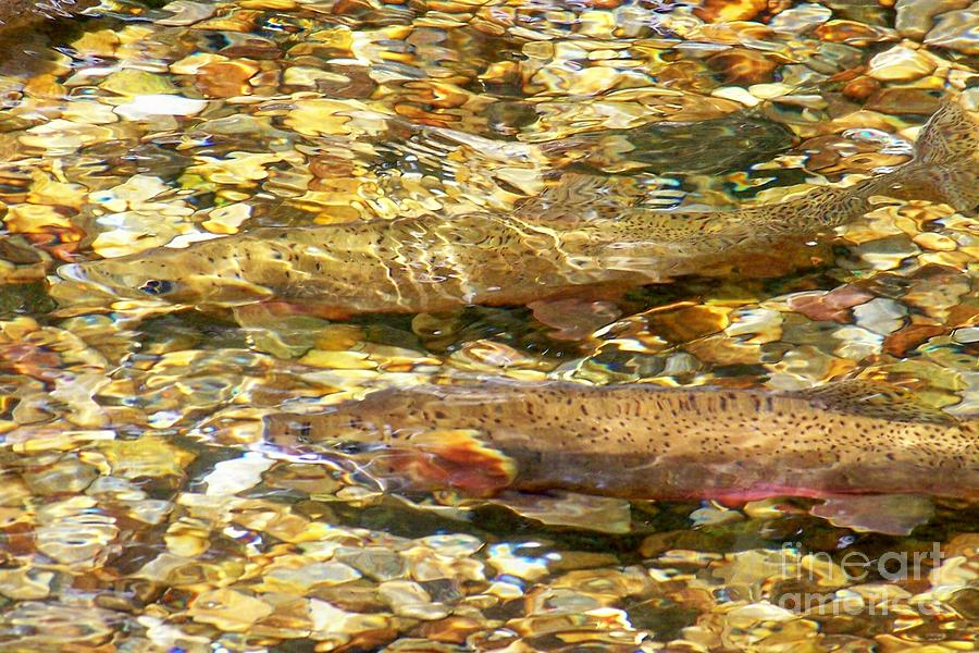 Sun Photograph - Cutthroat Trout In Clear Mountain Stream by Greg Hammond