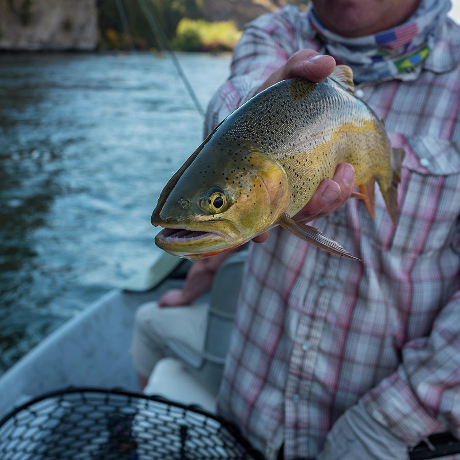 Cutthroat Trout by Ron White