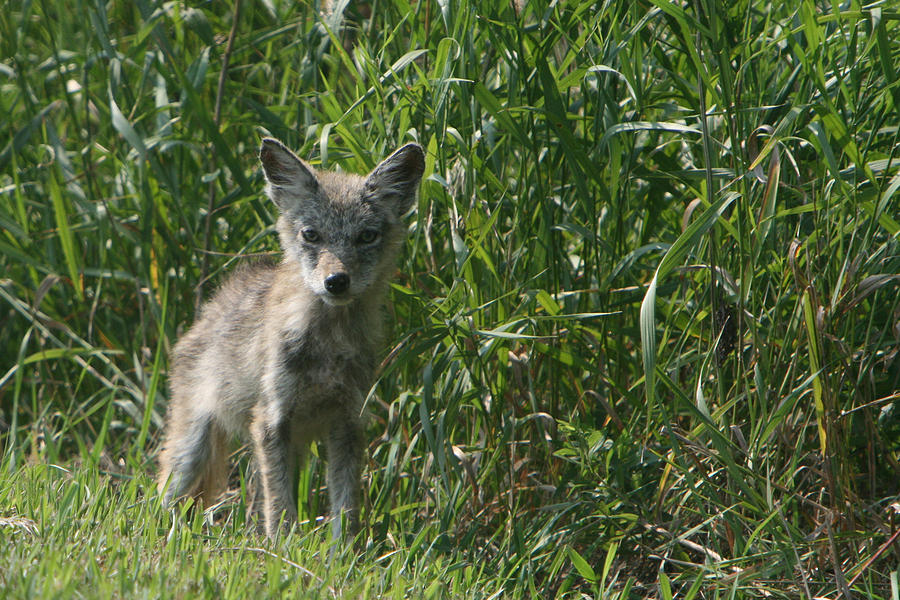 Pup Photograph - Cyote Pup by Dave Clark
