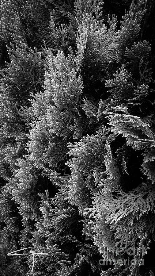 Cypress Photograph - Cypress Branches No.1 by Cesar Padilla