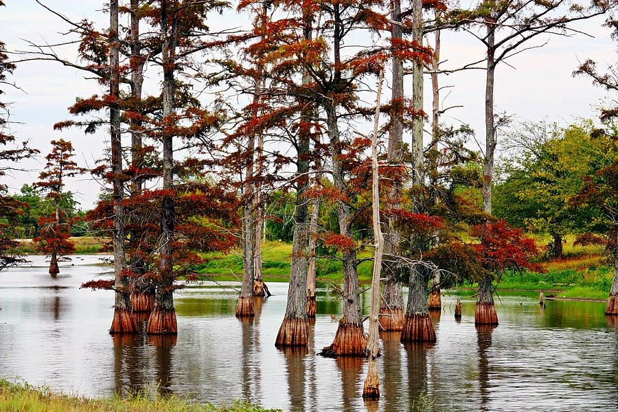 Cypress In Autumn Photograph