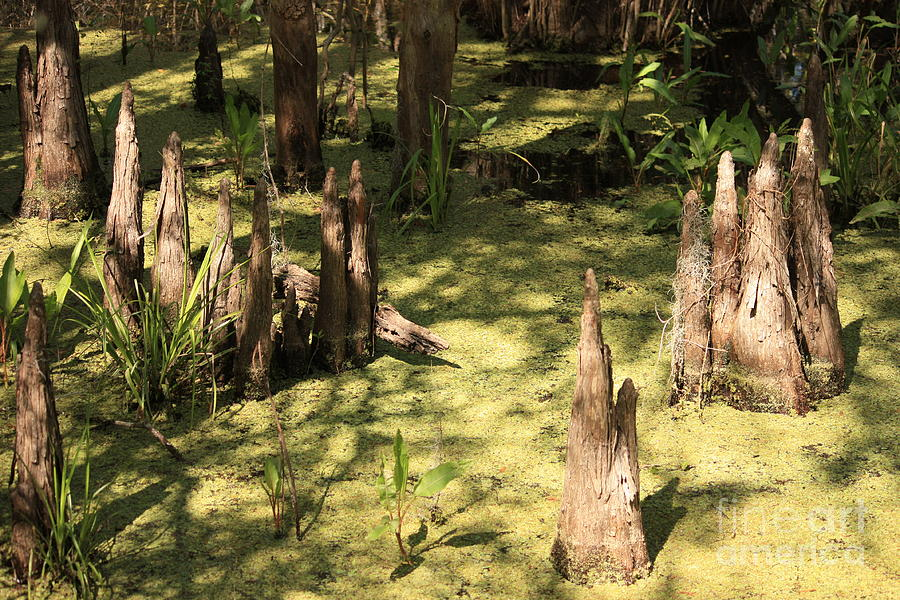 Swamps Photograph - Cypress Knees In Green Swamp by Carol Groenen