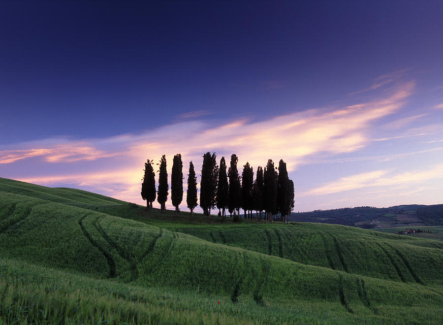 Tuscany Photograph - Cypress Tree Cluster by Michael Hudson