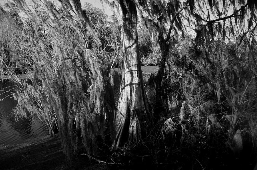Cypress Tree Photograph - Cypress Tree by David Lee Thompson