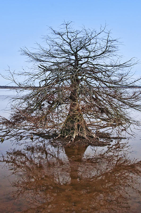 Tree Photograph - Cypress Tree In The Marsh by Bill Perry