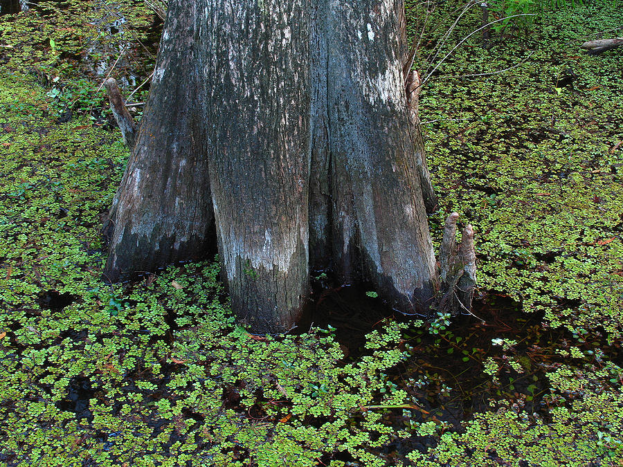 Cypress Tree Photograph - Cypress Tree by Juergen Roth