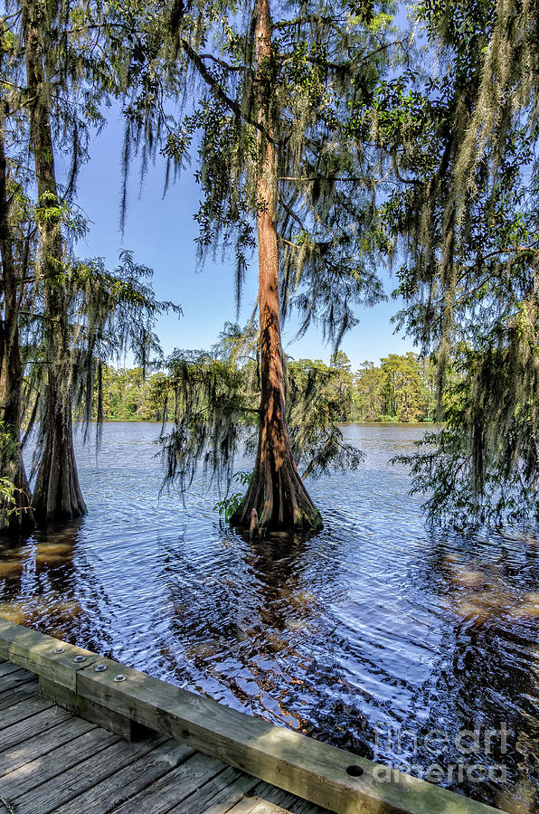Cypress Trees In Tchefuncte River Photograph