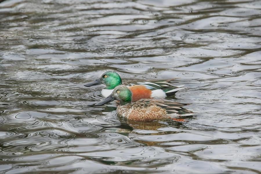 Duck Photograph - Dabbling Ducks by Nikki Vig