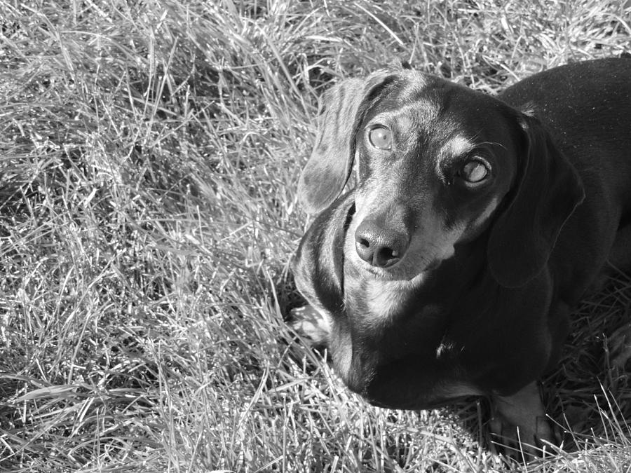 B&w Photograph - Dachshund by Alora Peterson