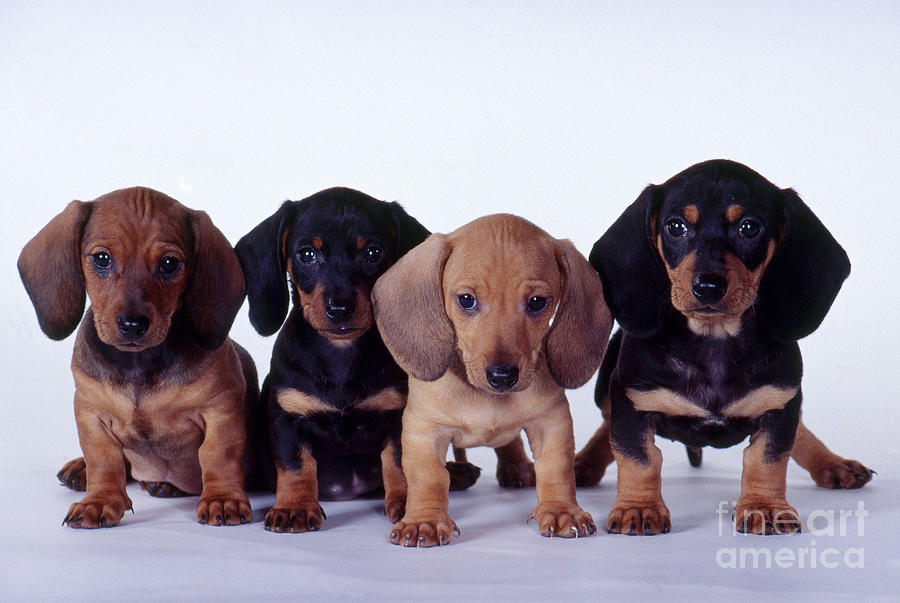 Fauna Photograph - Dachshund Puppies  by Carolyn McKeone and Photo Researchers