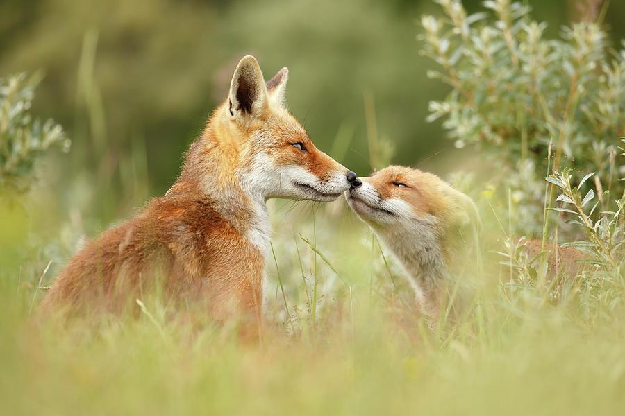 Рассказ о лисе в картинках