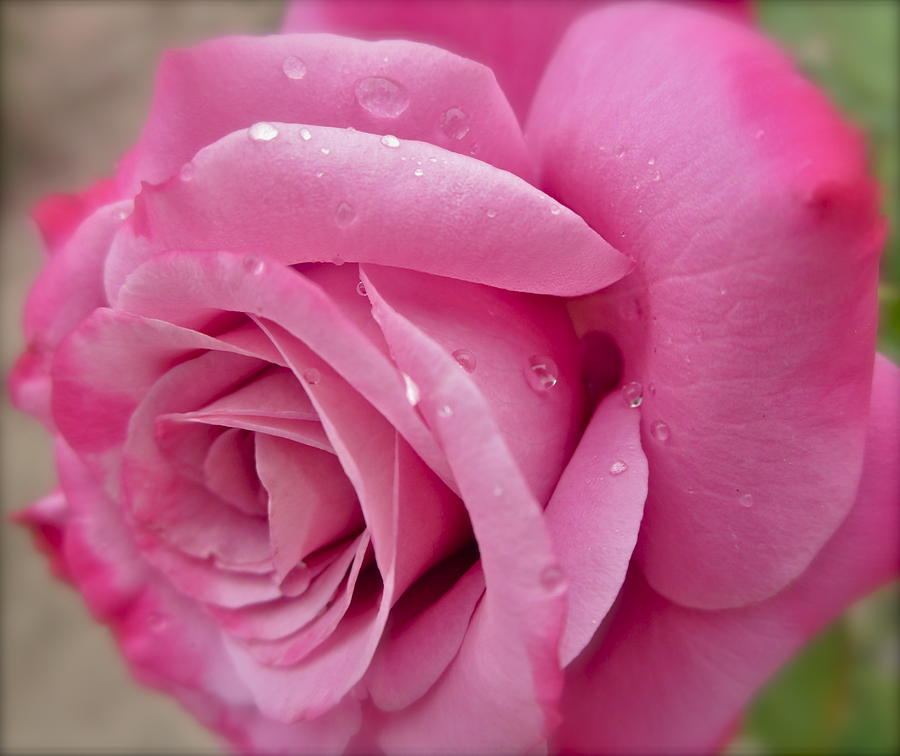 Pink Rose Photograph - Daddys Rose by Gwyn Newcombe