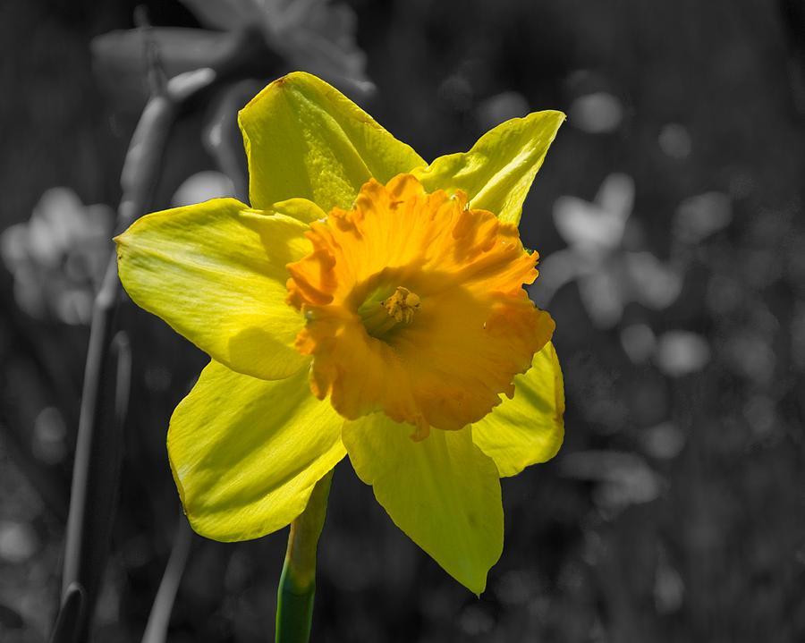 Daffodil Photograph - Daffodil by Eric Harbaugh