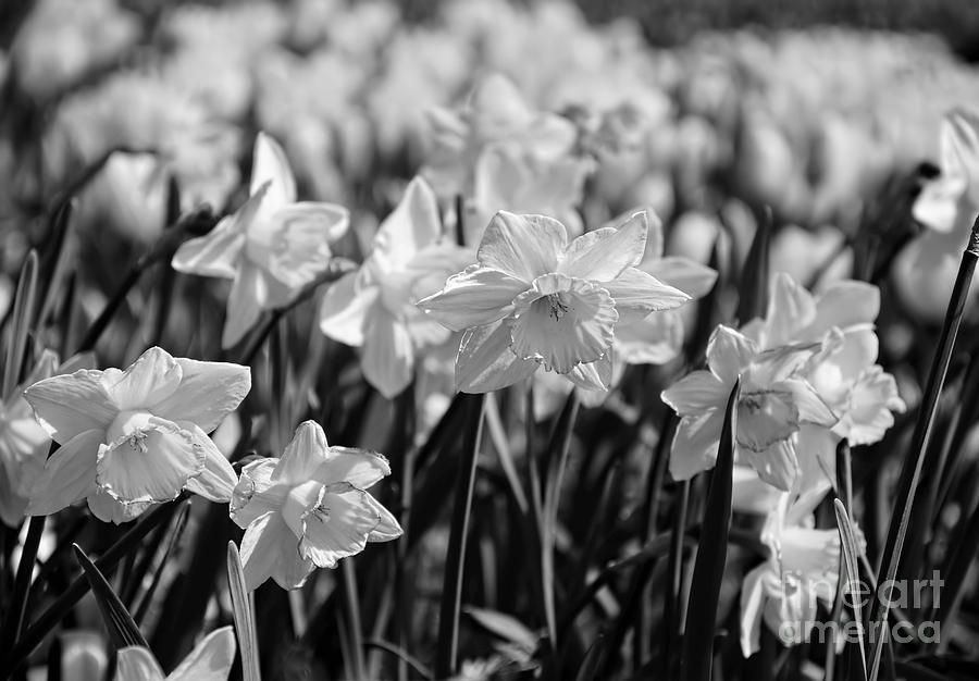 Monochrome Photograph - Daffodil Glow Monochrome By Kaye Menner by Kaye Menner