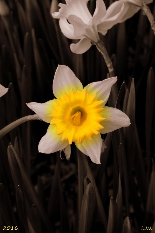 Daffodil Photograph - Daffodil by Lisa Wooten