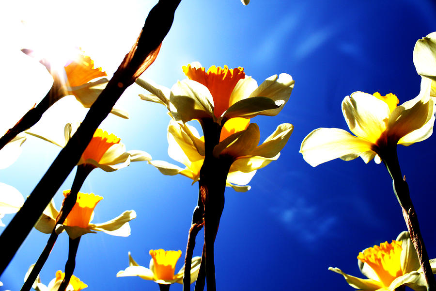 Flowers Photograph - Daffodil by Nathan Grisham