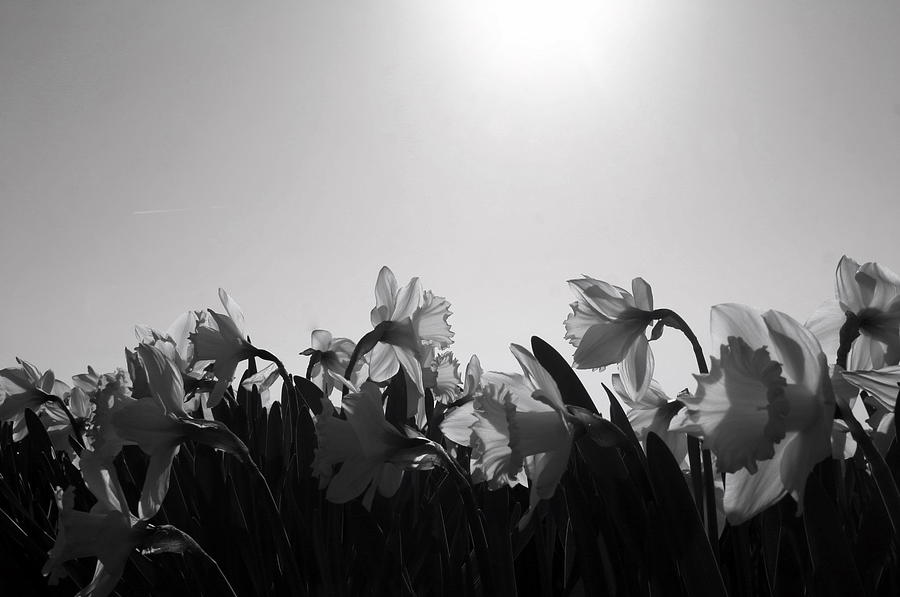 Black And White Photograph - Daffodil Party by Karla DeCamp