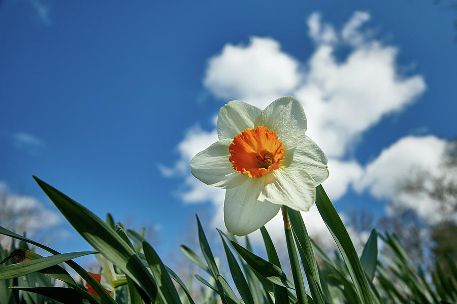 Flowers Photograph - Daffodil by Thomas DiVittis