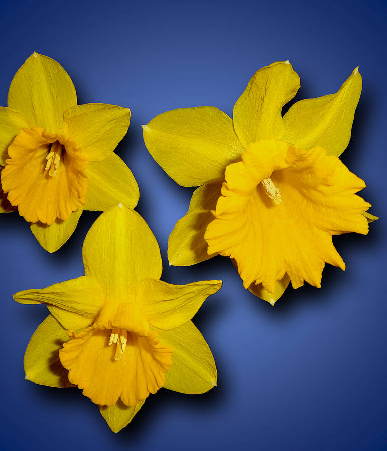 Daffodils Photograph - Daffodil Trio by Tara Hutton