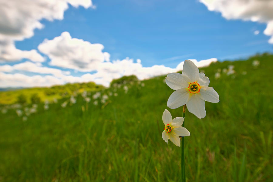 Narcisi Photograph - Daffodils Blossimg At Cavalla Plains 2017 Iv - Fioritura Dei Narcisi Al Pian Della Cavalla 2017 by Enrico Pelos