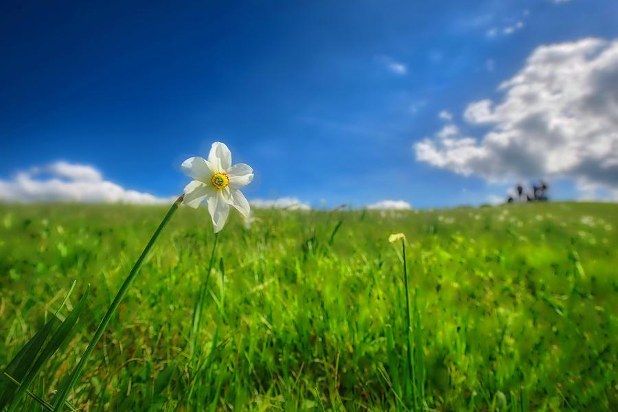 Narcisi Photograph - Daffodils Blossimg At Cavalla Plains 2017 Vi - Fioritura Dei Narcisi Al Pian Della Cavalla 2017 by Enrico Pelos