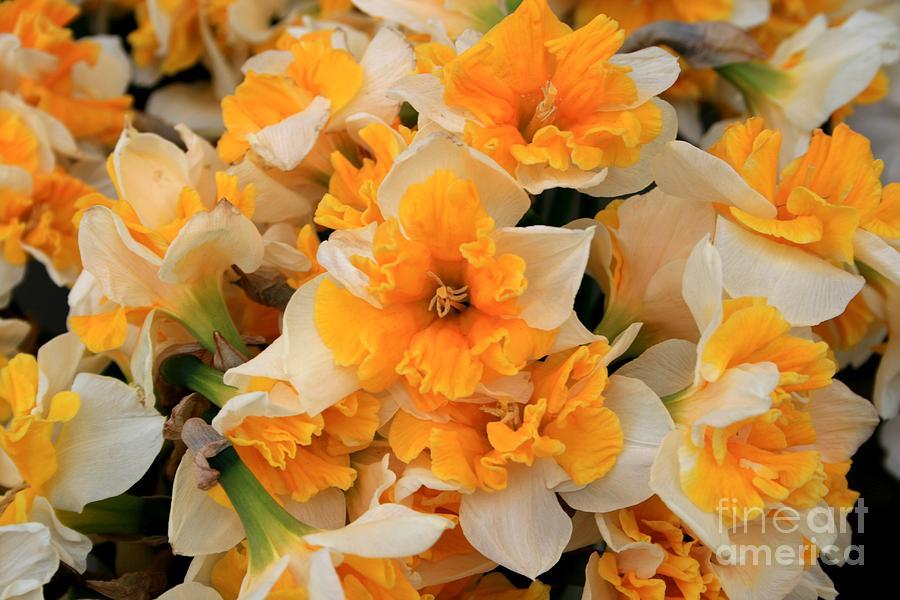 Nature Photograph - Daffodils Carpet by Valia Bradshaw