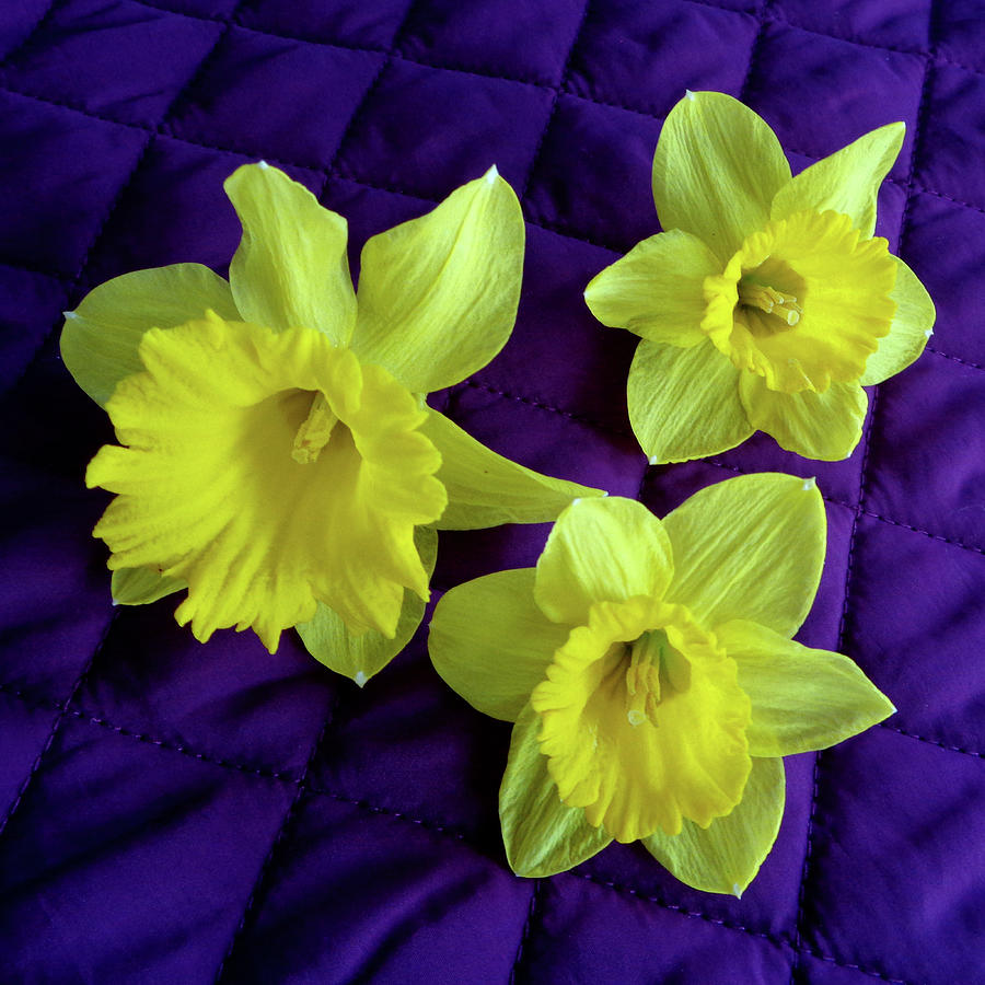 Daffodils Photograph - Daffodils On A Purple Quilt by Tara Hutton