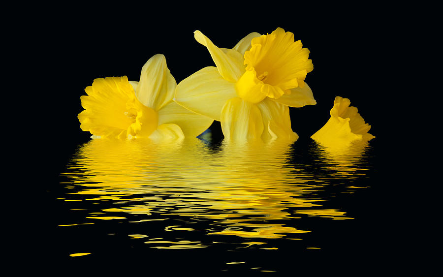 Floating Daffodils  by Geraldine Alexander
