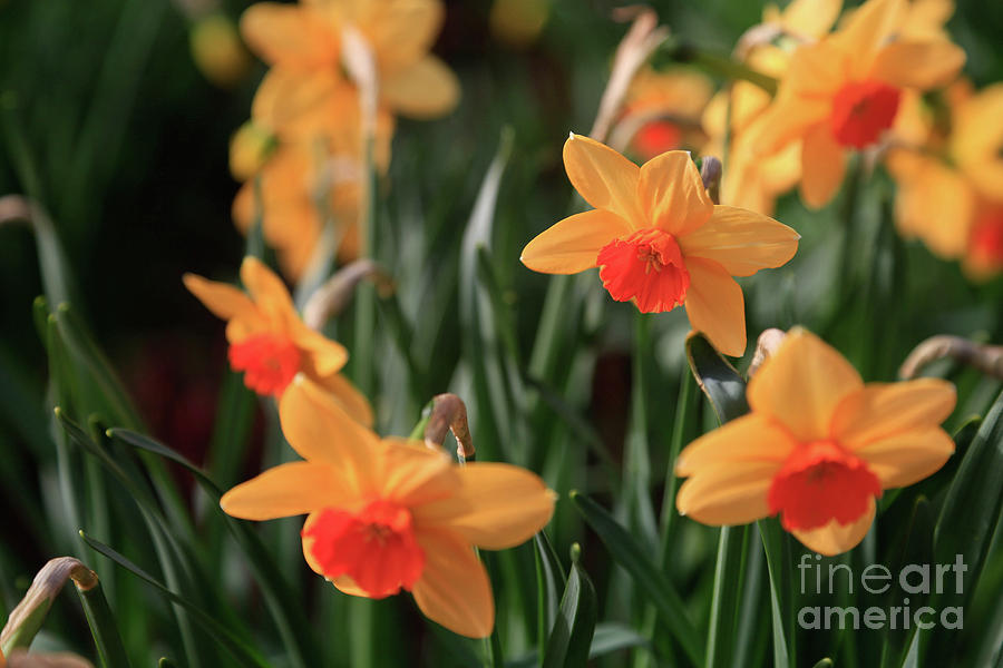 Daffodils Photograph - Daffodils by Tracy Hall