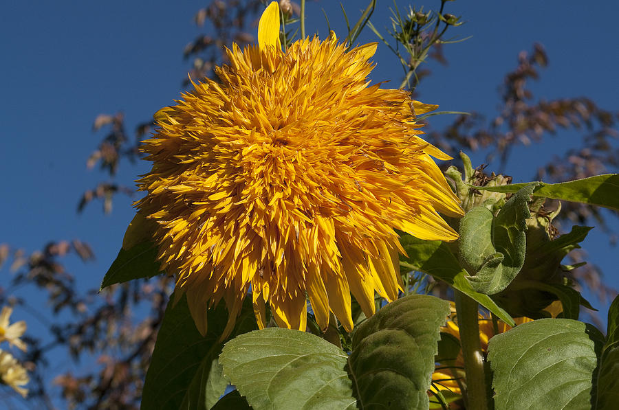 Flower Photograph - Dahlia 2580 by Charles  Ridgway