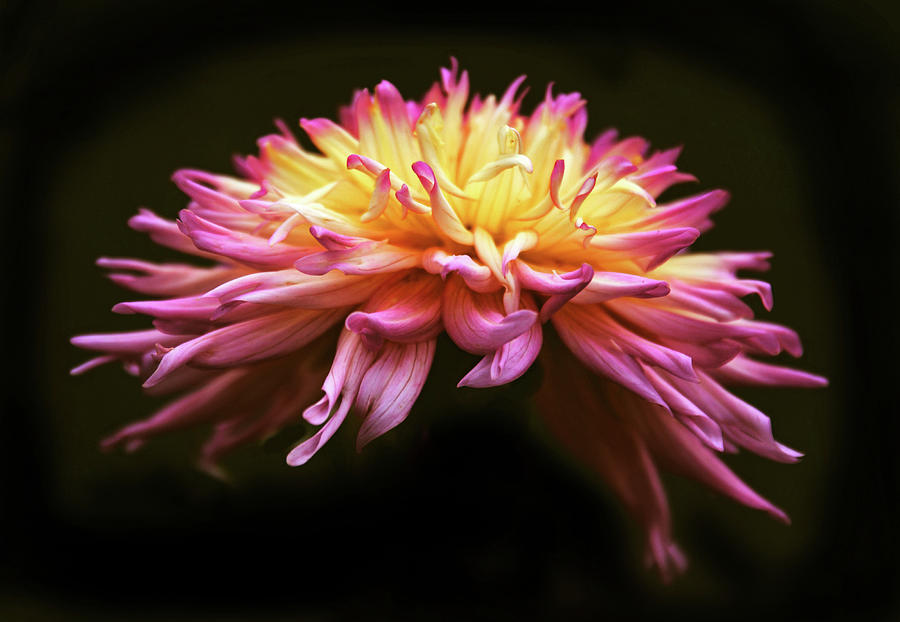 Dahlia Photograph - Dahlia At Dusk by Jessica Jenney