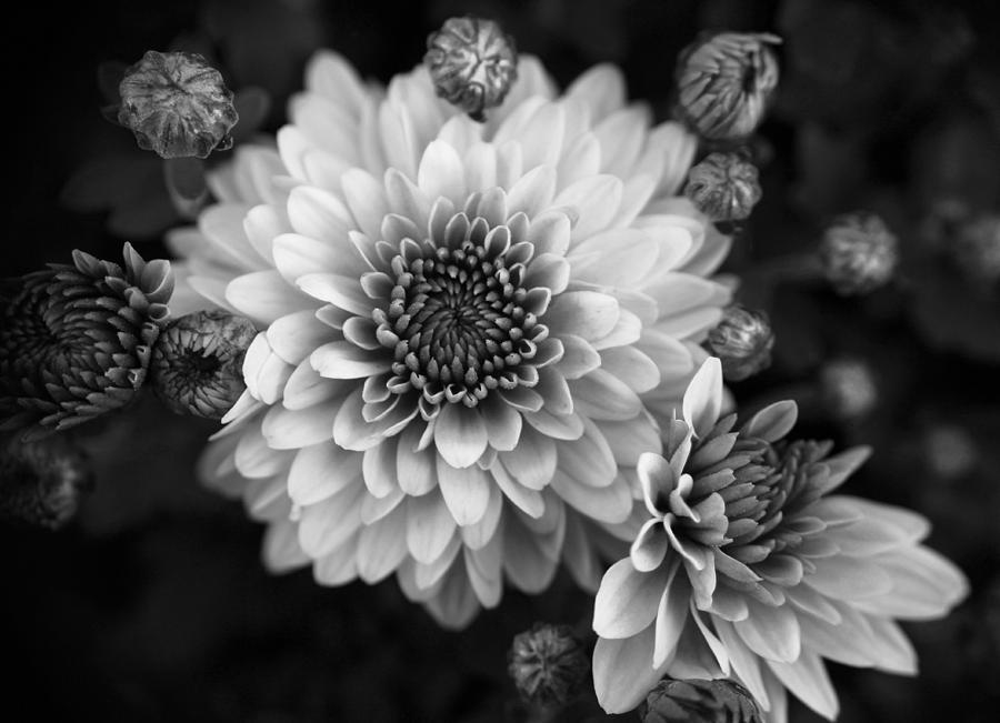 Dahlia Flower Photograph - Dahlia Burst B/w by Ronda Ryan