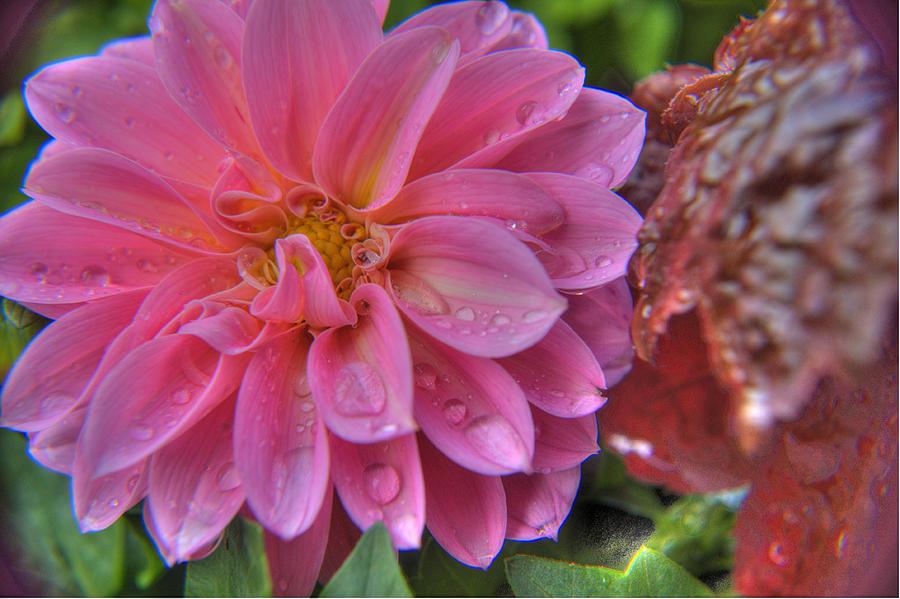 Plant Photograph - Dahlia Emmily by Alexander Rozinov