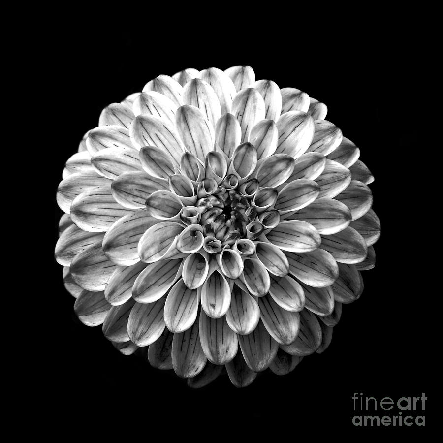 Dahlia flower black and white square photograph by edward fielding square photograph dahlia flower black and white square by edward fielding izmirmasajfo Gallery