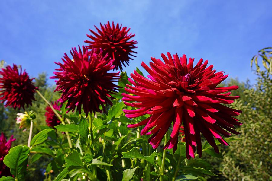 Dahlia Flower Garden Art Prints Photography Photograph