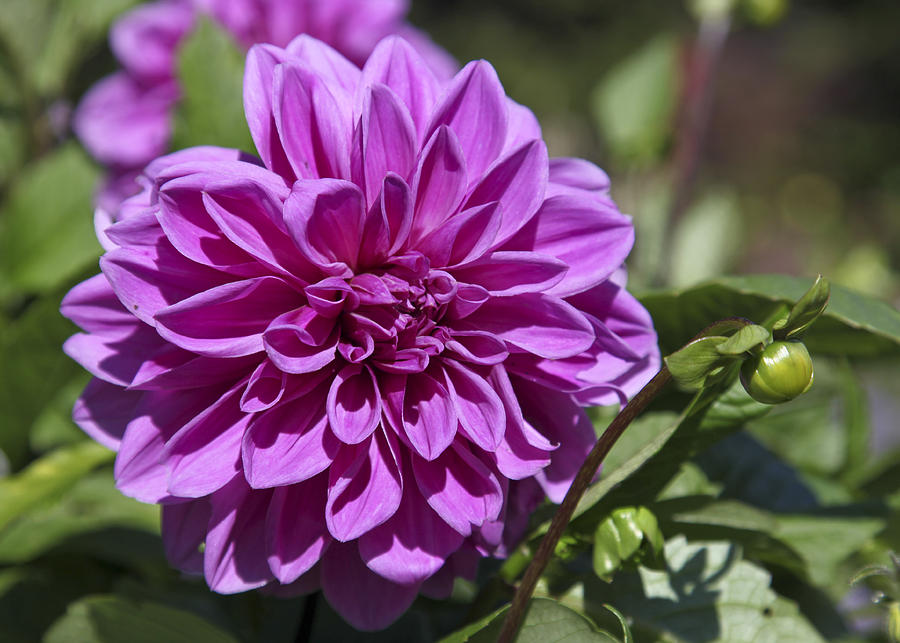 Flower Photograph - Dahlia by Frank Russell