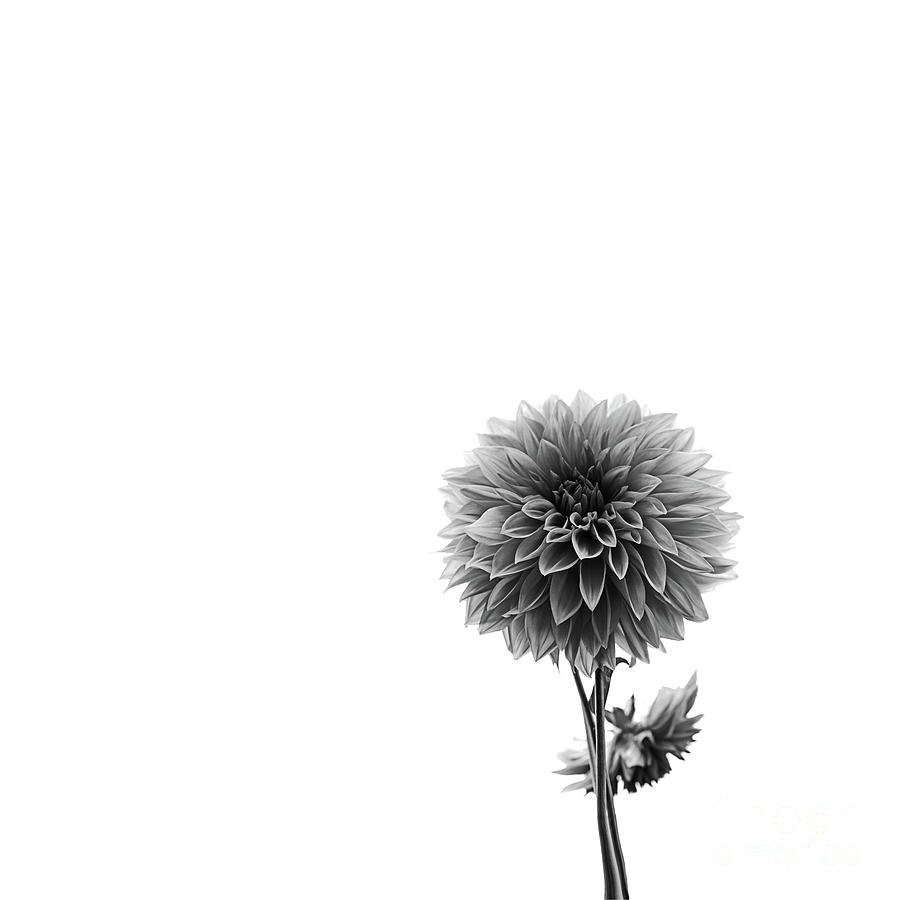 Dahlia In Black And White 2 by Mark Alder