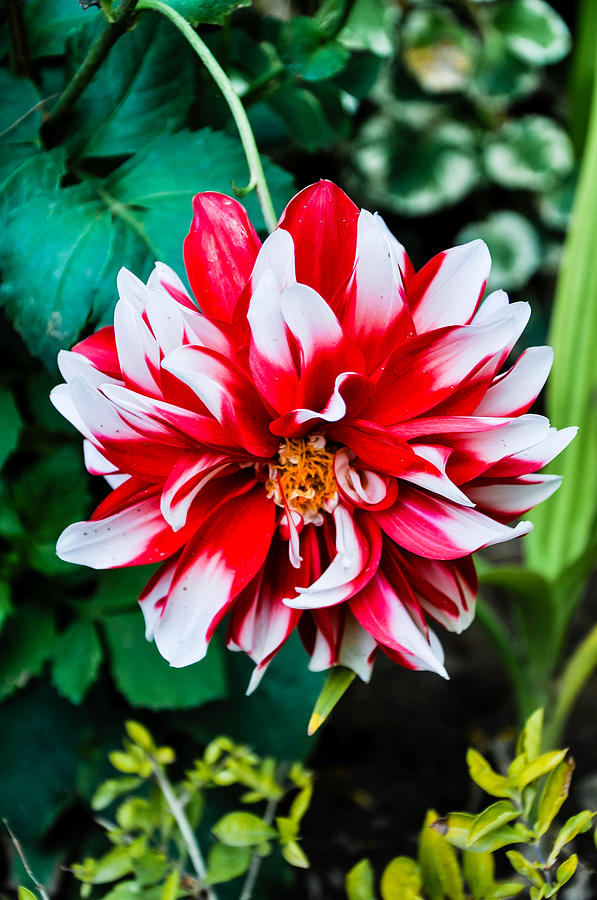 Beautiful Photograph - Dahlia In Red by Freepassenger By Ozzy CG