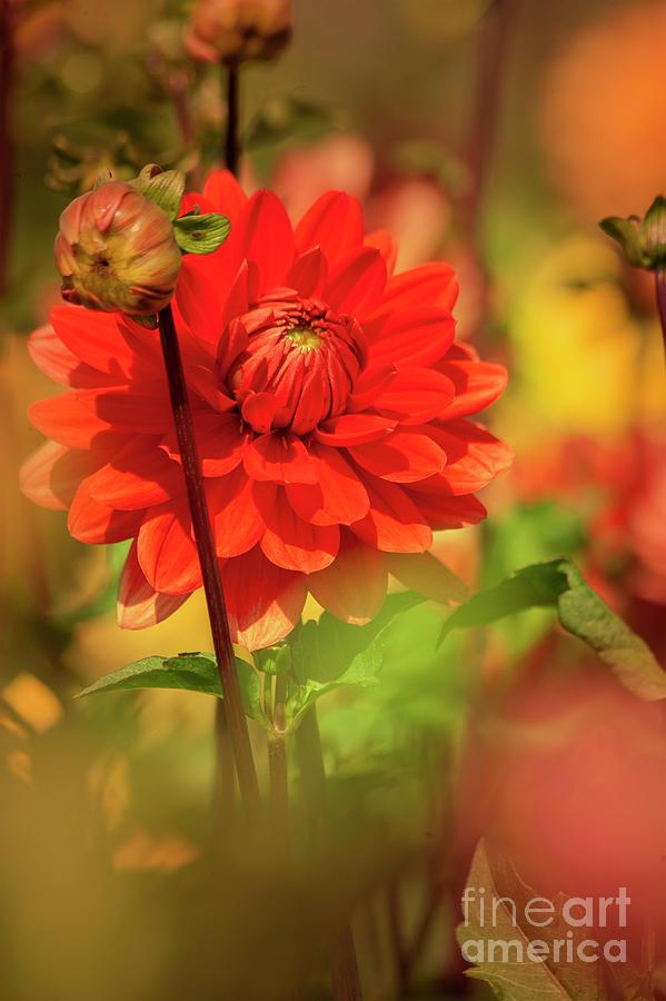 Dahlia In The Garden Photograph