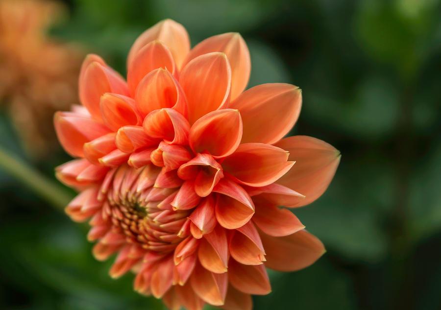 Dahlia Petals by Arlene Carmel