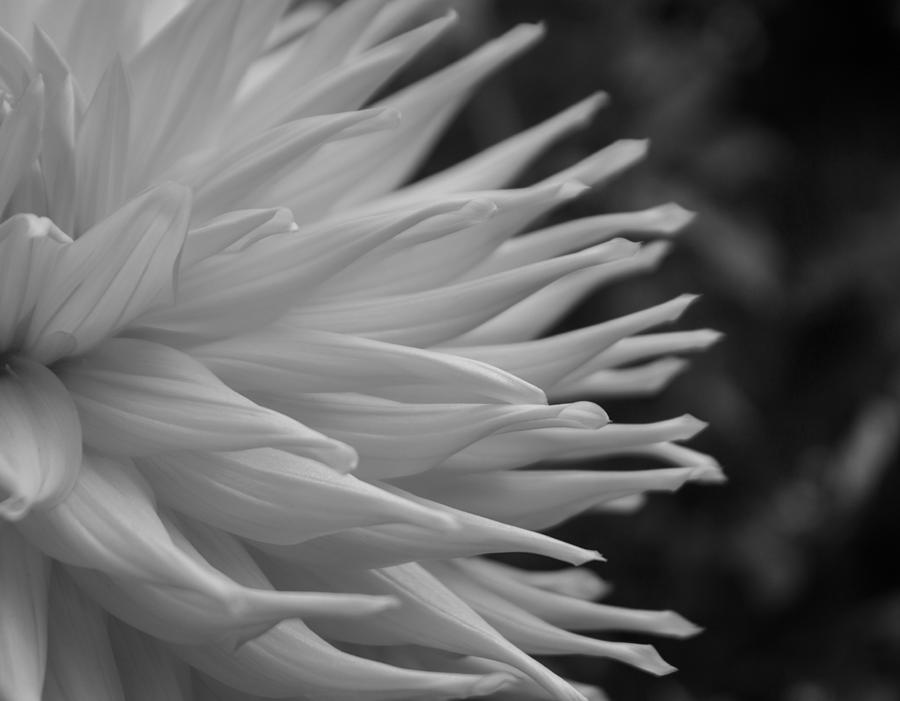 Dahlia Petals In Black And White by Arlene Carmel