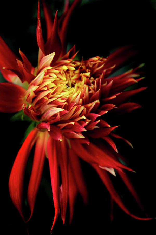 Dahlia Photograph - Dahlia Show And Tell by Jessica Jenney