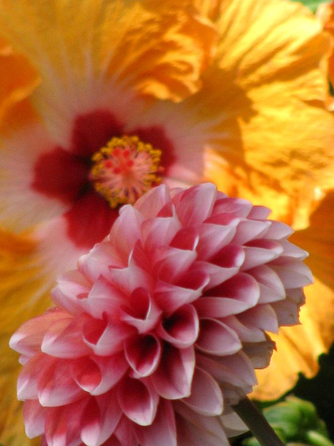 Flower  - Dahlia With Hibiscus by Alfred Ng